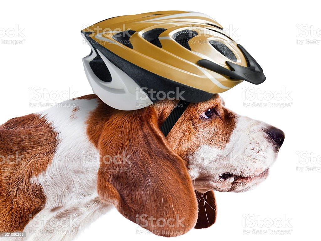 beagle in  helmet on white stock photo