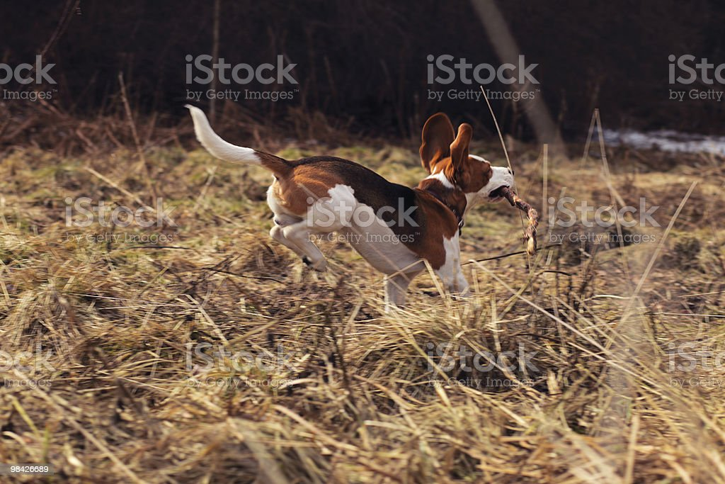 beagle in spring forest royalty-free stock photo