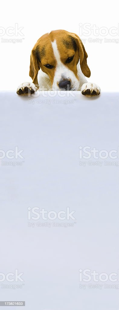 beagle is looking at a blank sign stock photo