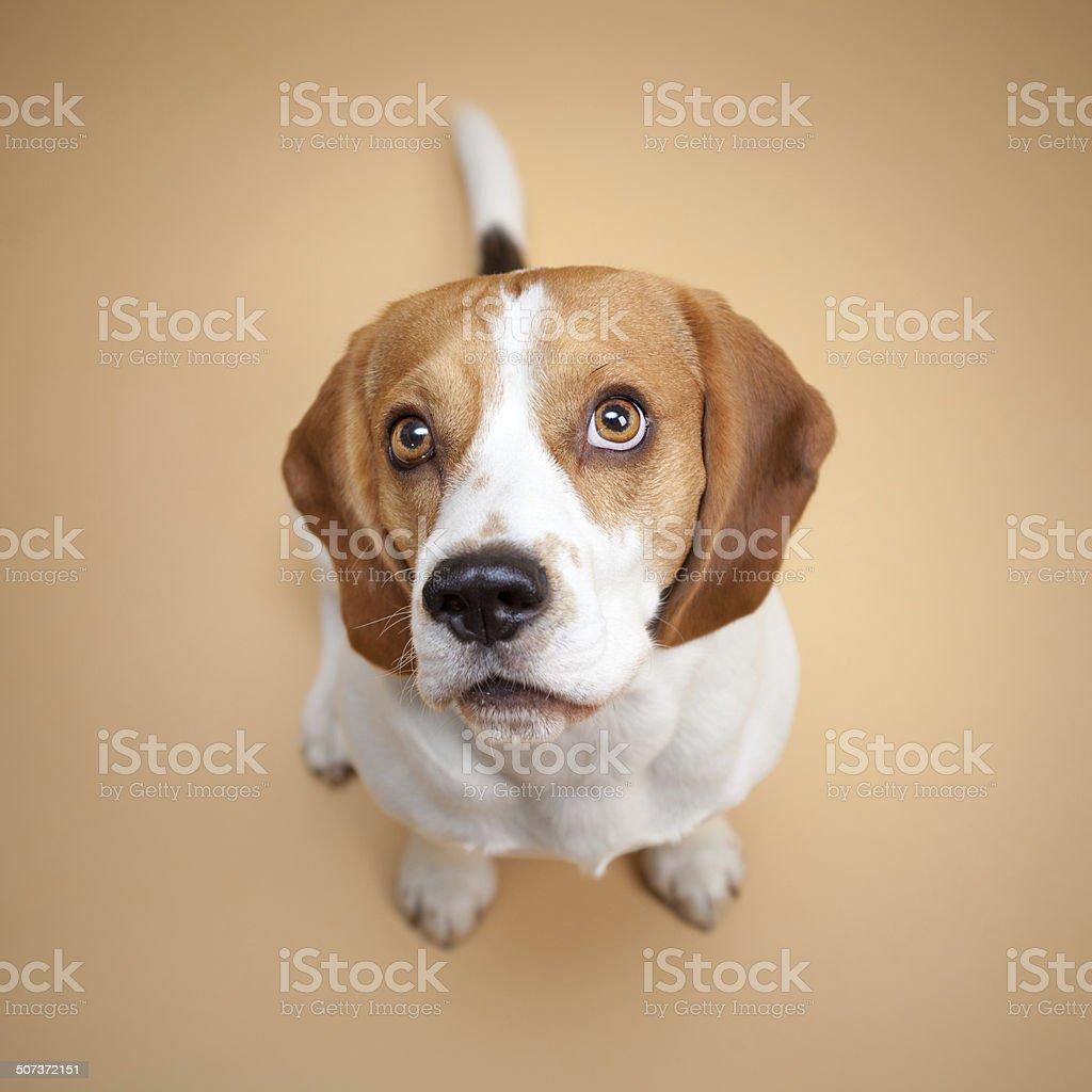 Beagle isolated on beige background stock photo