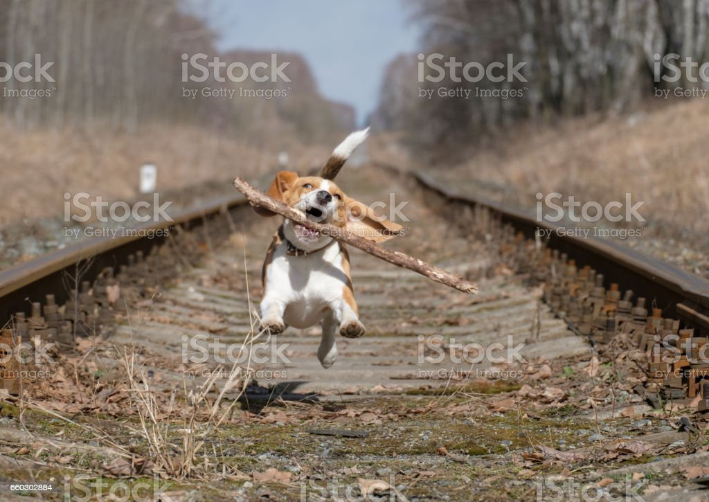 Beagle jumping with a stick in his teeth stock photo