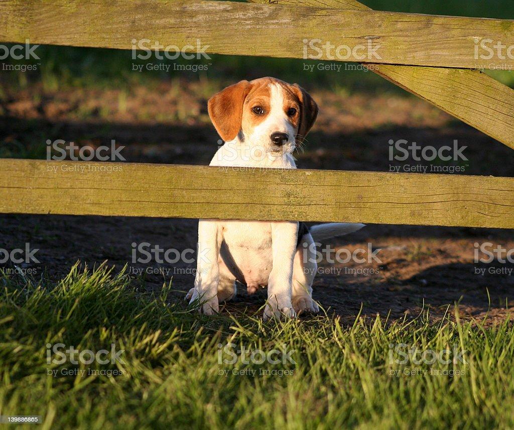 Beagle left behind royalty-free stock photo