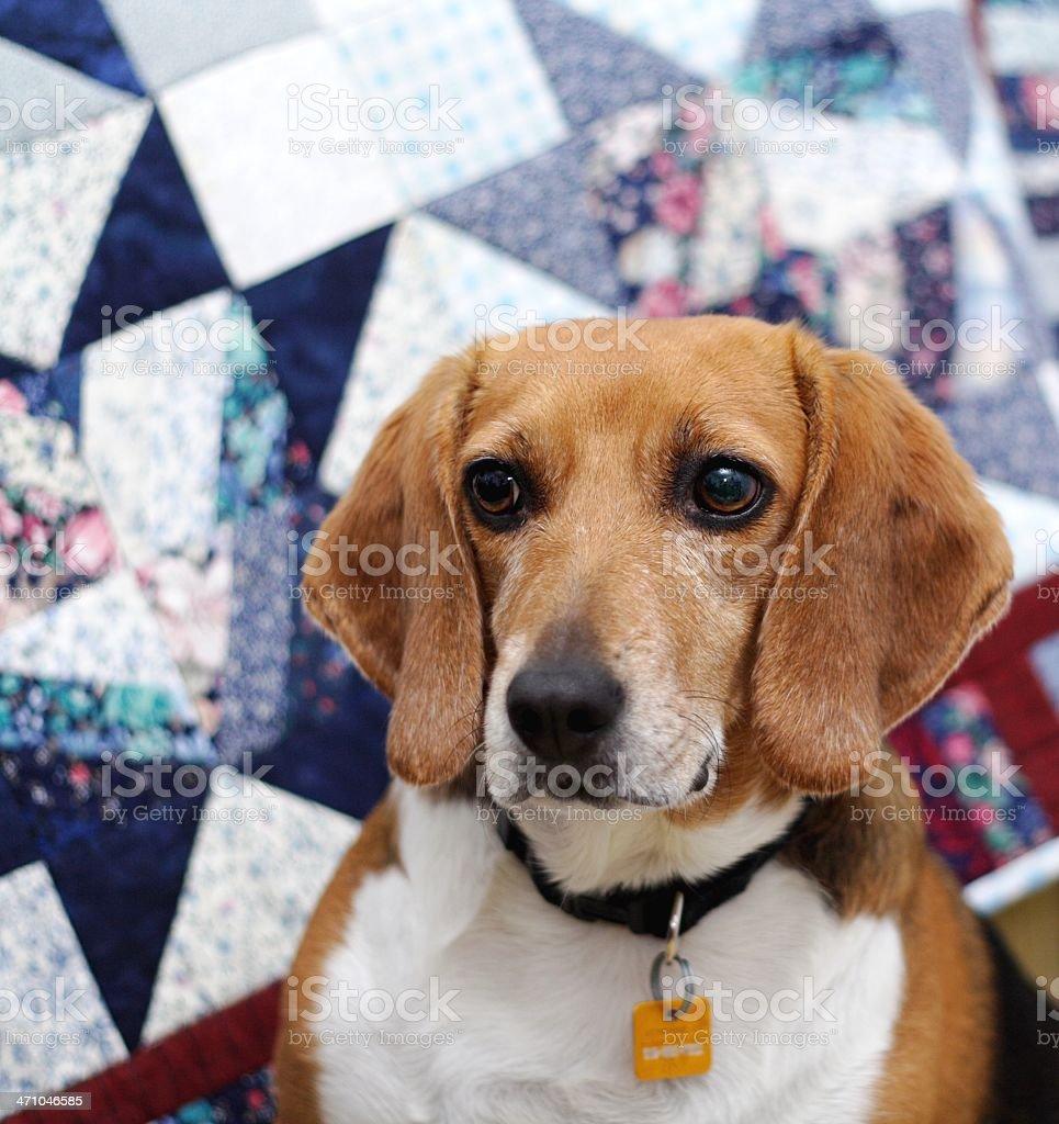 Beagle Looking Away royalty-free stock photo