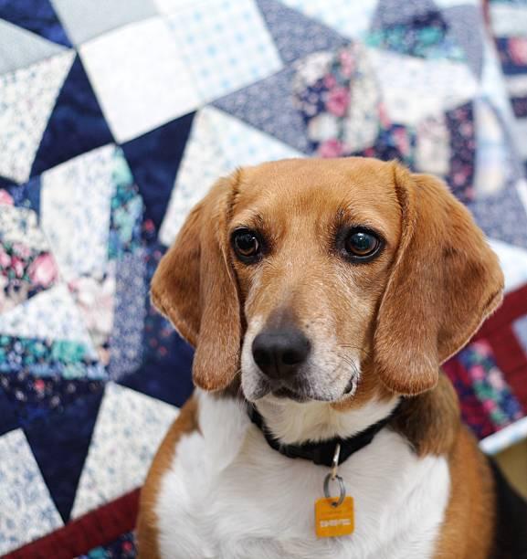 Beagle Looking Away stock photo