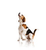 A beagle looking up against a white background