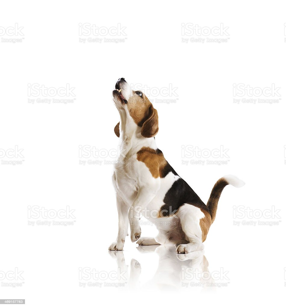 A beagle looking up against a white background stock photo