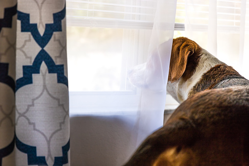 Beagle mix hound looks out the window.