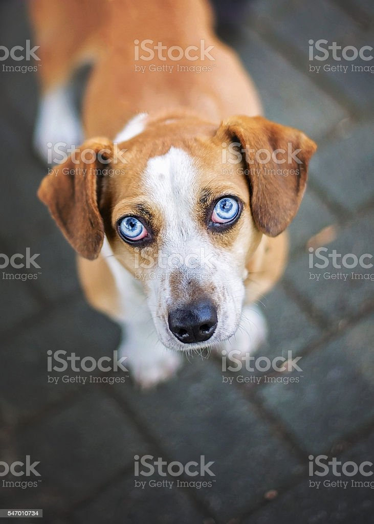 Beagle Mix in Shelter stock photo
