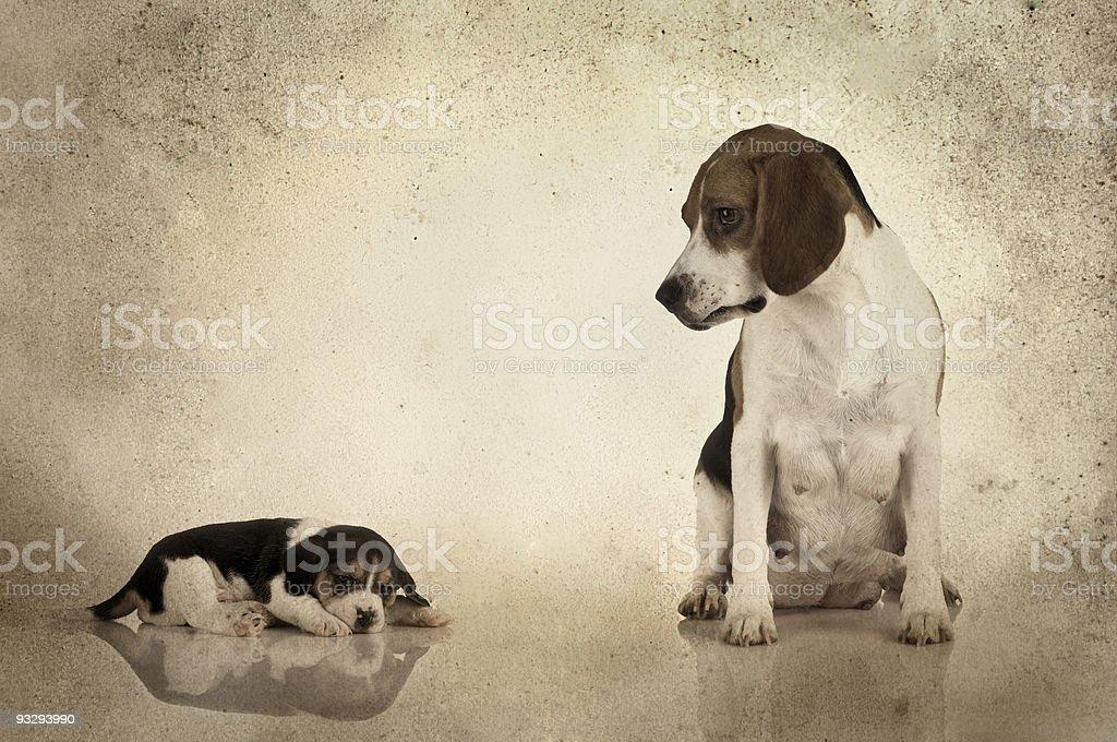 Beagle mom royalty-free stock photo