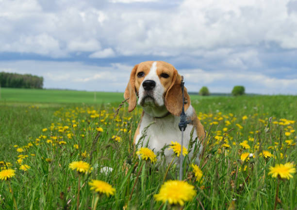 Beagle on a meadow with yellow dandelions picture id691558498?b=1&k=6&m=691558498&s=612x612&w=0&h=hoen33xnpgly5eeofgxmtnnmzrw5b4s2l9vevgc0mz4=