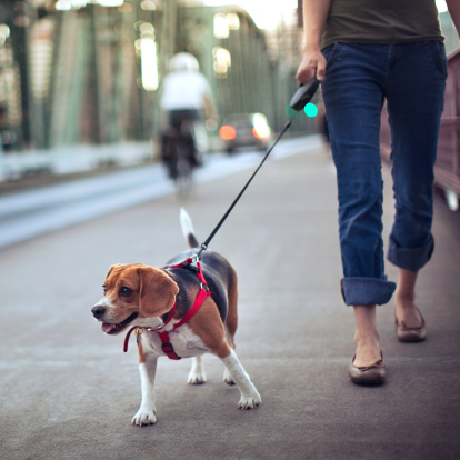 A young adult woman takes her cute beagle for a walk down a city bridge sidewalk in Portland, OR.