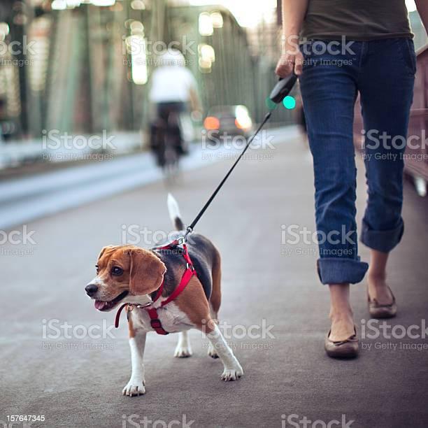 Beagle on a walk picture id157647345?b=1&k=6&m=157647345&s=612x612&h=4cahiftg8wvs54jf9bg2q6jqqlgbeujnsoc6zellmmm=