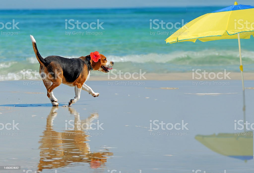 Beagle on Beach royalty-free stock photo