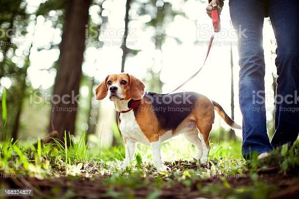 Beagle on walk in forest park picture id168324827?b=1&k=6&m=168324827&s=612x612&h=ox4s864vvguvbpf6yf5t6ks7cehibe3qbiyzybaw2bg=