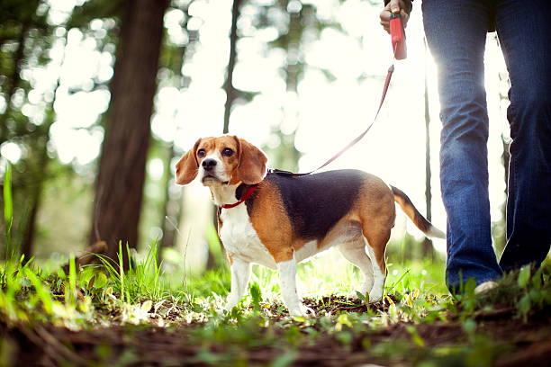 Beagle On Walk in Forest Park A young adult woman takes her cute beagle for a walk in a beautiful sun lit park, tall evergreen trees glowing in the light behind them.  Horizontal with copy space. beagle stock pictures, royalty-free photos & images