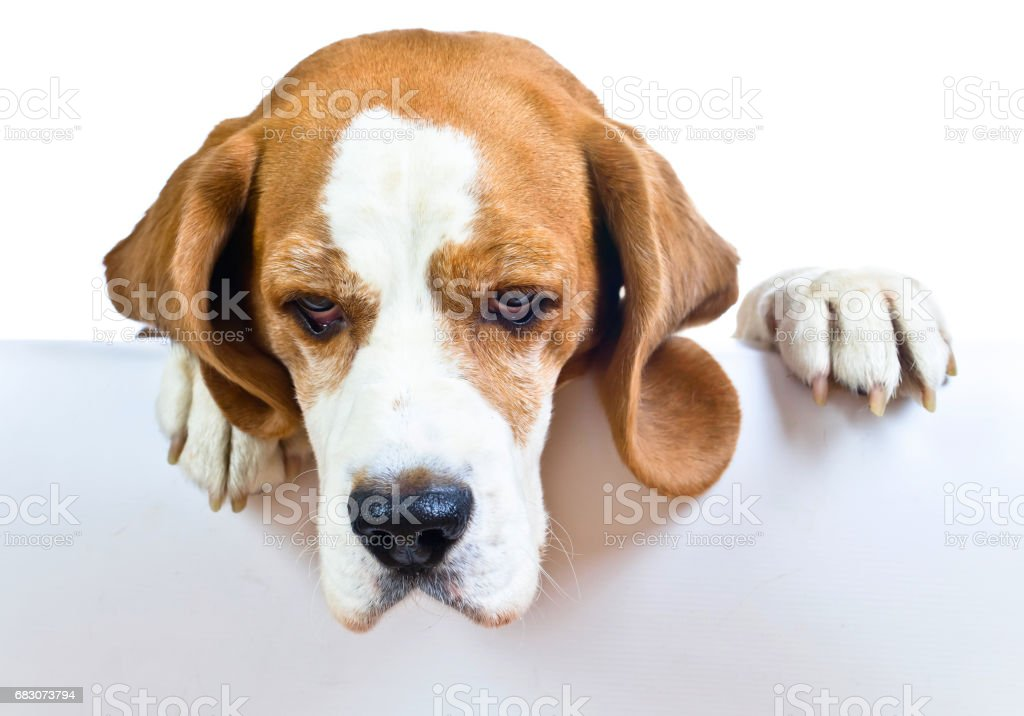 beagle on white background foto de stock royalty-free