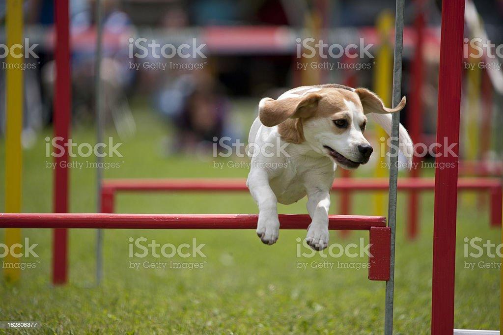 Beagle royalty-free stock photo