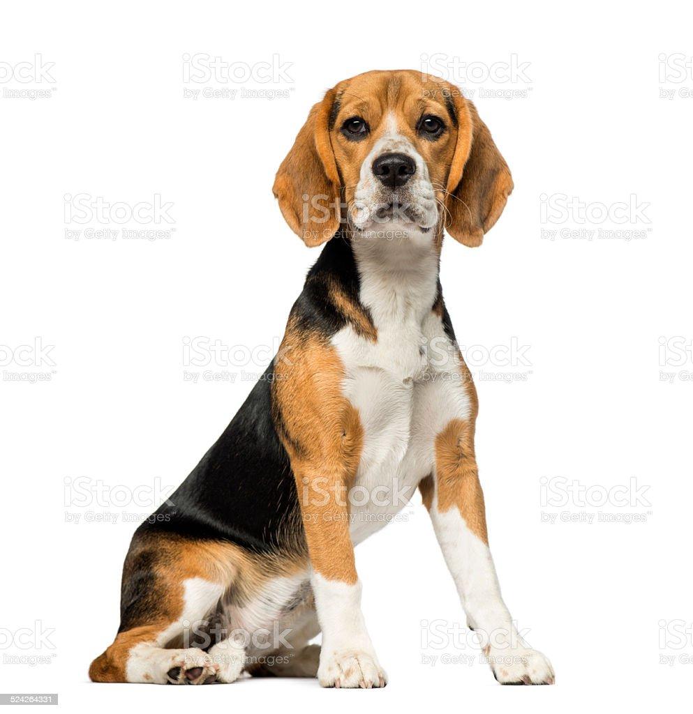 Beagle (3 años) - foto de stock