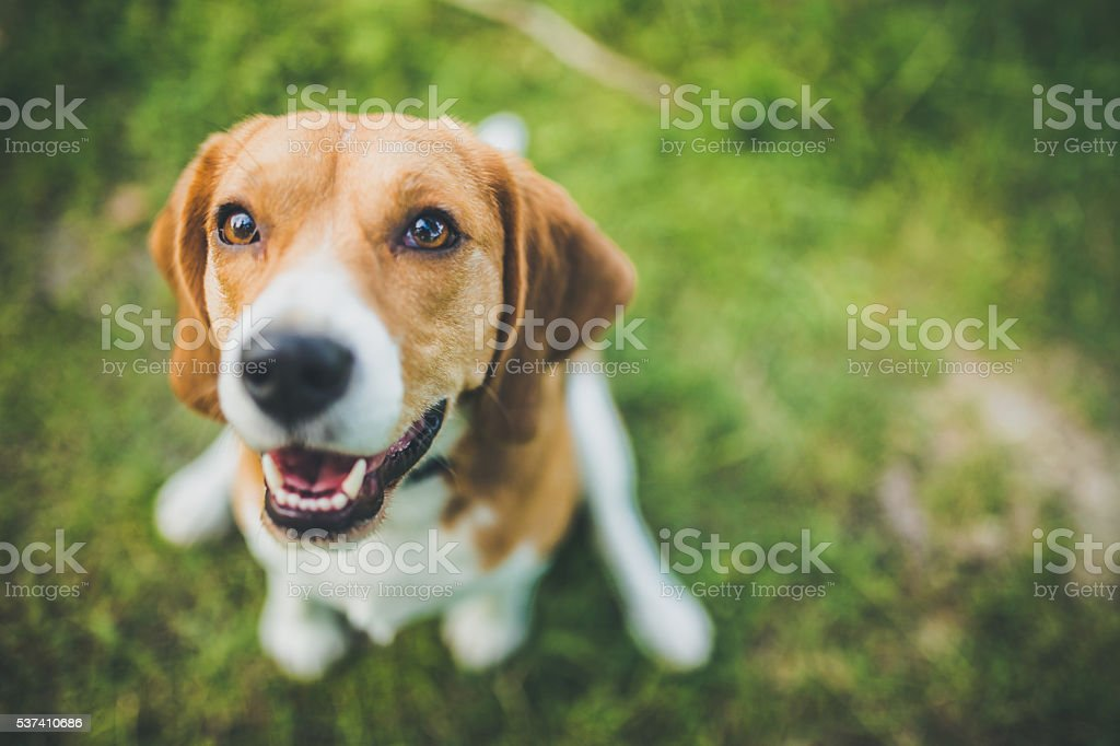 Beagle stock photo
