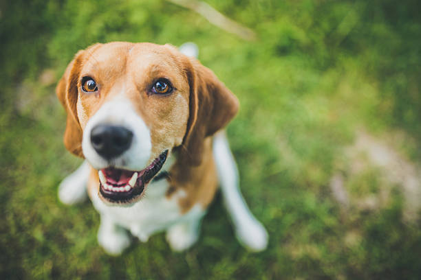 Beagle Beagle dog sitting in green grass beagle stock pictures, royalty-free photos & images