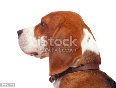 Beagle Stock Photo & More Pictures of Animal