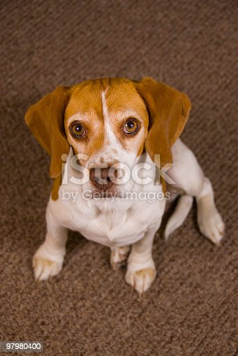 Beagle Stock Photo & More Pictures of Affectionate