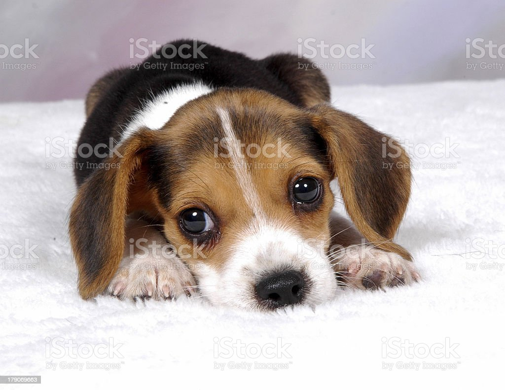 Beagle Pup 2 stock photo