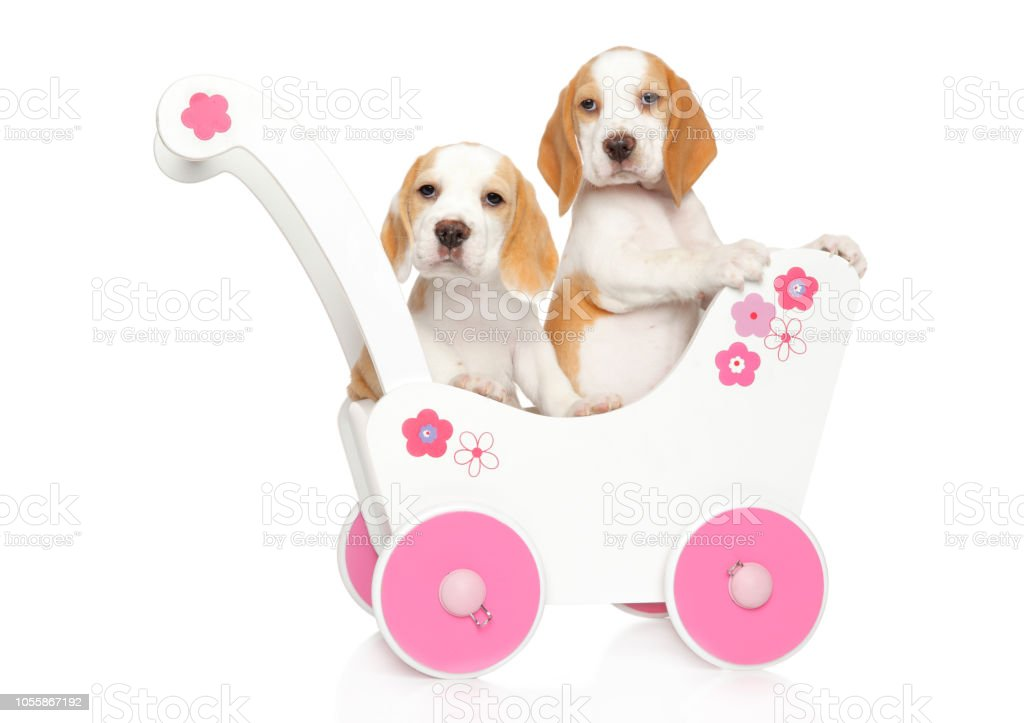 Beagle Puppies In A Baby Carriage Stock Photo Download Image Now Istock