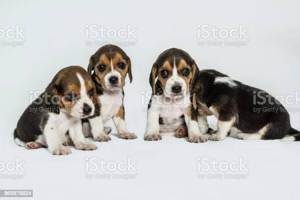 Beagle puppies picture id865976634?b=1&k=6&m=865976634&s=612x612&h=h ijlum2alwwfvkog1gpvw5sfj3sh4yfn9ye8g gacw=