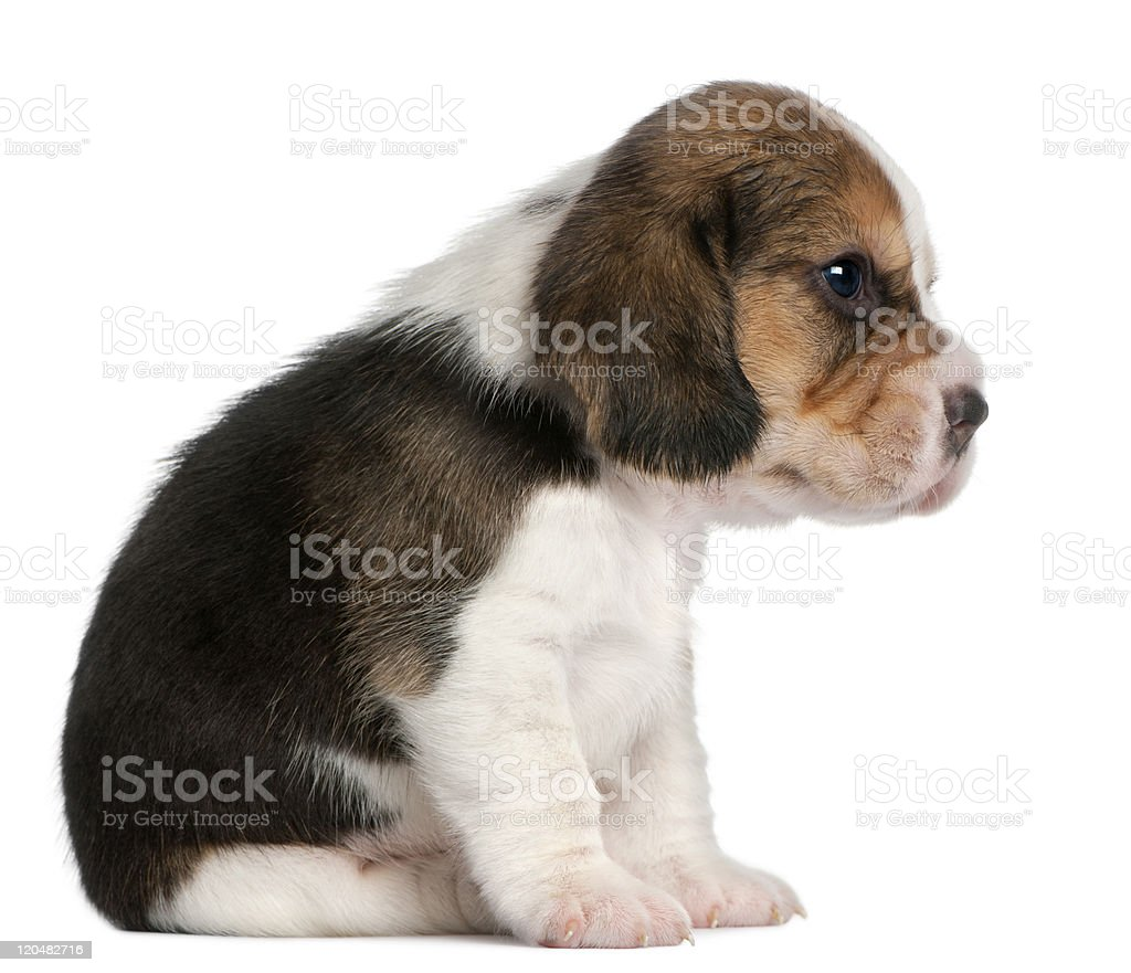 Beagle Puppy, 1 month old, sitting, white background. stock photo