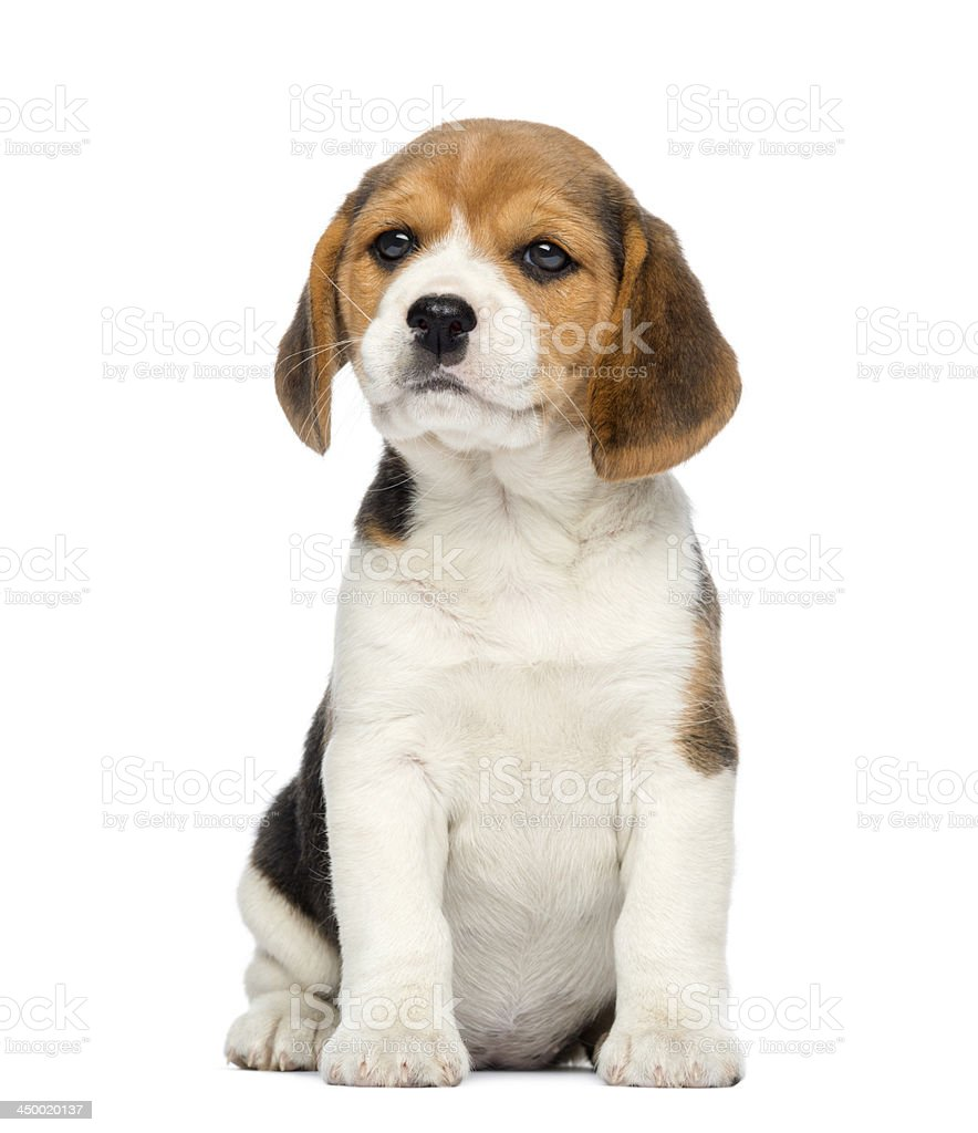 Beagle Puppy, 2 months old, sitting, isolated on white stock photo