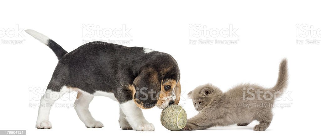 Beagle puppy and Highland fold kitten playing with a ball stock photo