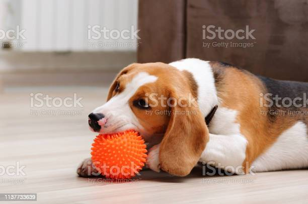 Beagle puppy chewing spiky ball dog toy picture id1137733639?b=1&k=6&m=1137733639&s=612x612&h=og29wphew2izv1zp fx06ughdg8blbsru tl3p3msec=