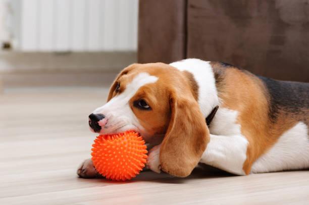 Beagle puppy chewing spiky ball dog toy picture id1137733639?b=1&k=6&m=1137733639&s=612x612&w=0&h=b6xybruzkv39mnvchgysjkptrwobe8gcclnqmoddyba=
