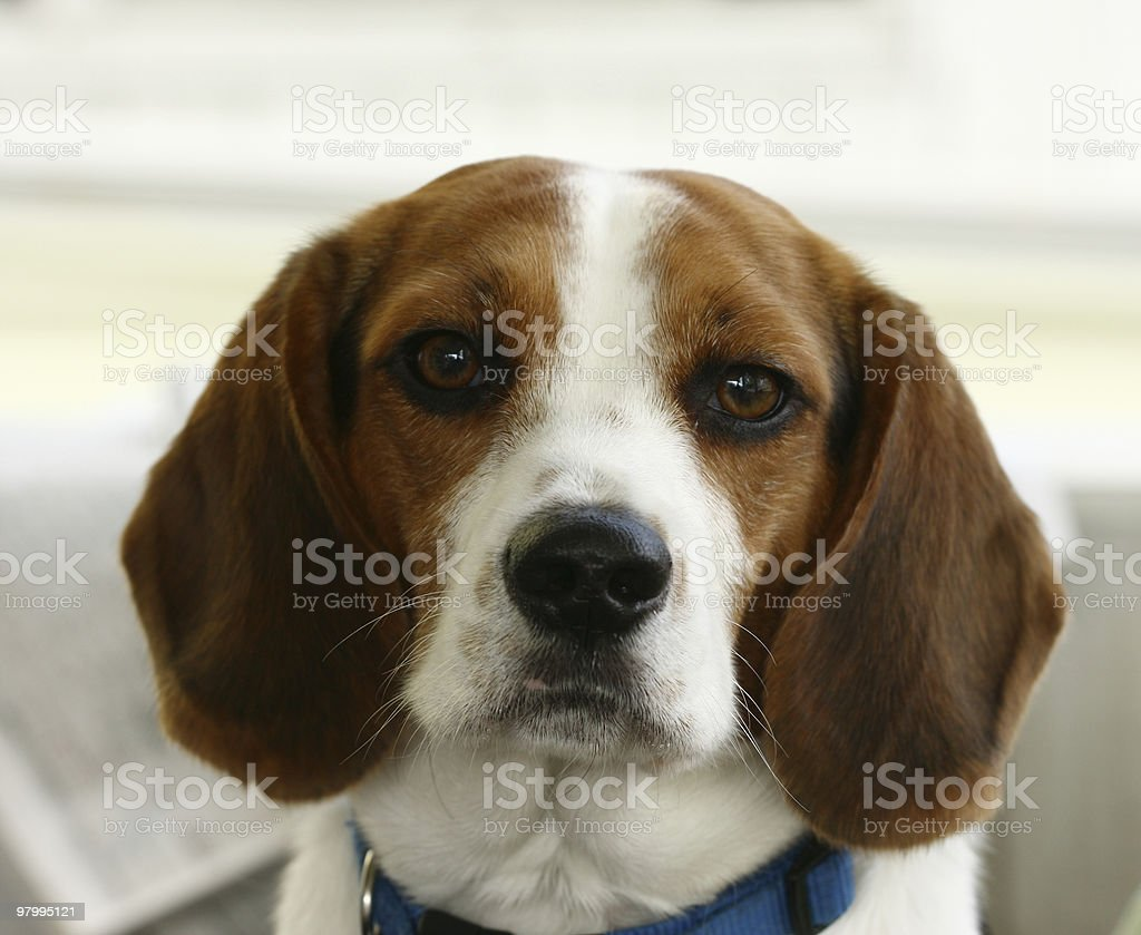 Beagle puppy close up royalty-free stock photo