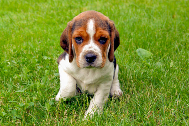 Beagle puppy dog in green grass isolated stock photo