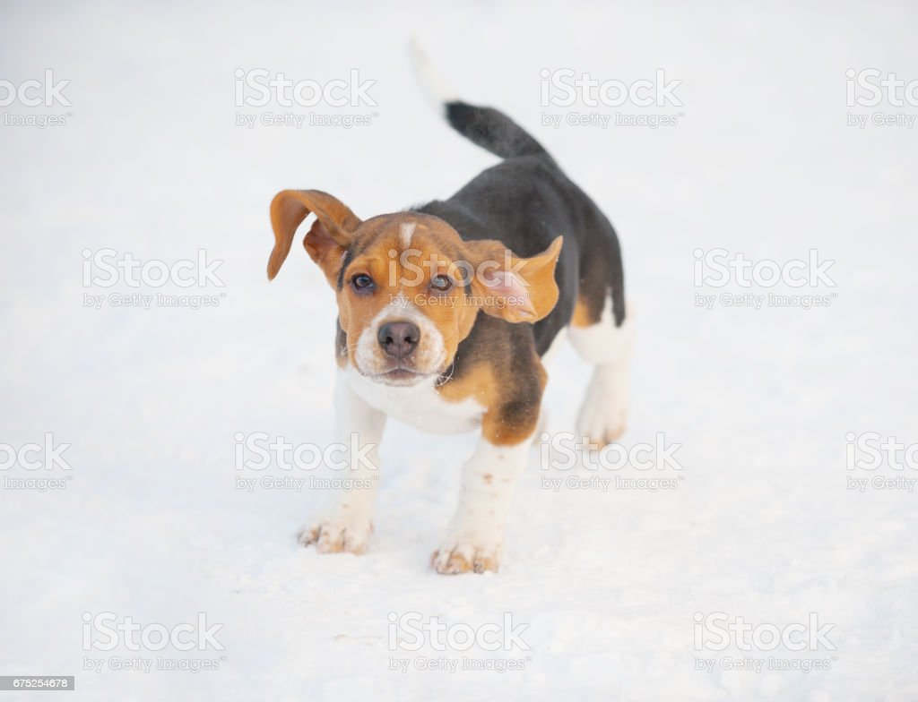 Beagle Puppy Dog Running In Winter Snow Stock Photo More Pictures