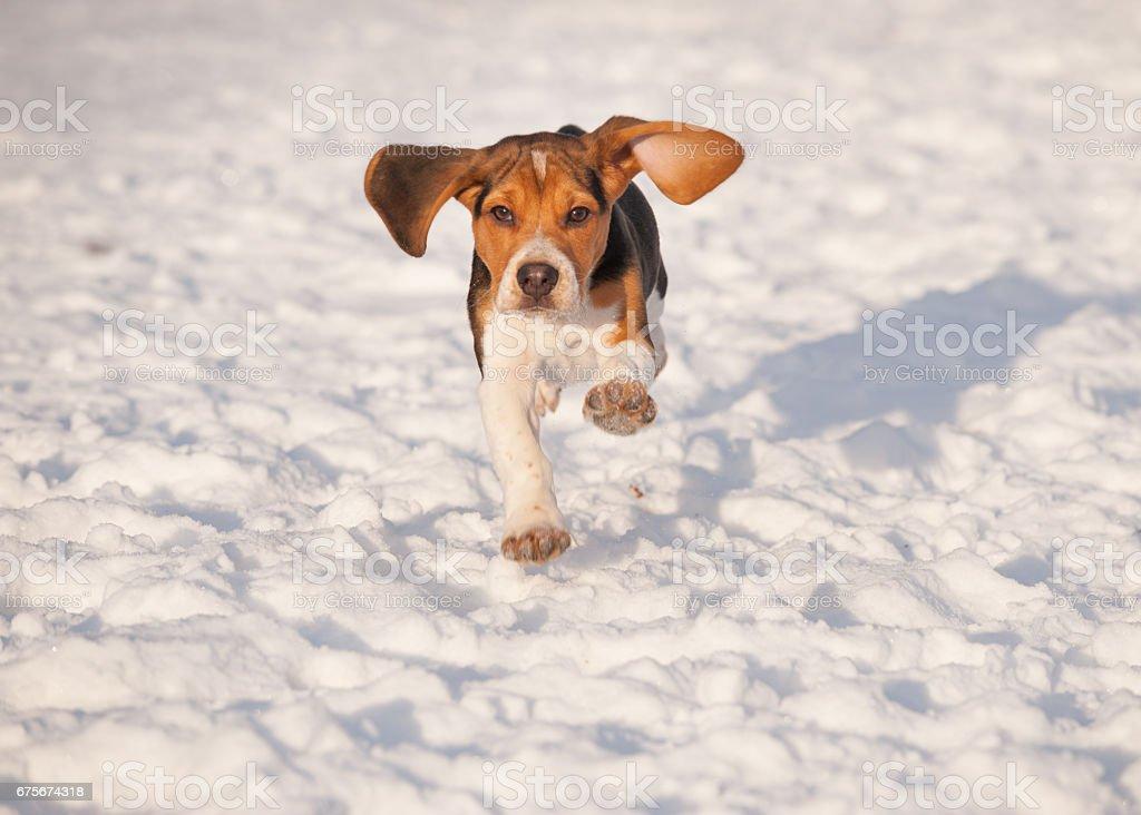 Beagle puppy dog running in winter snow stock photo