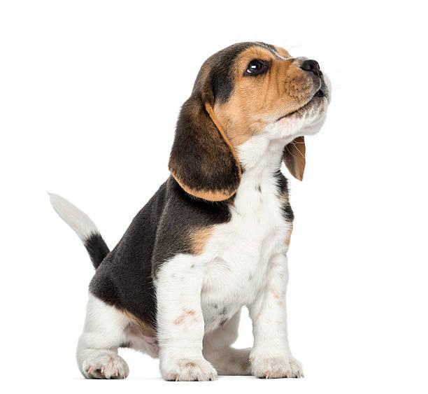 Beagle chiot Hurlement, de regarder en l'air, isolé sur blanc - Photo
