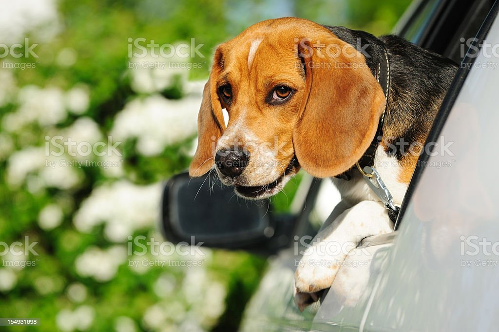 Beagle puppy in car window looking at camera royalty-free stock photo