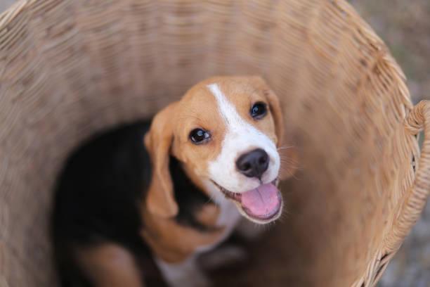 Beagle pup in de rotan mand buiten. foto