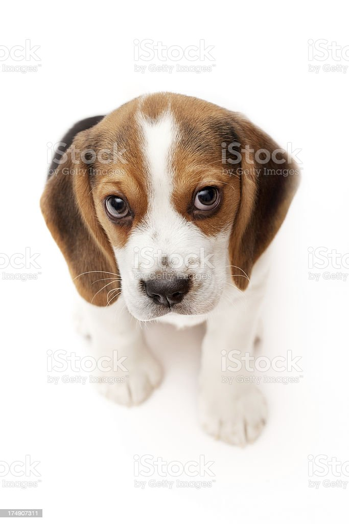 Beagle puppy isolated on white background royalty-free stock photo
