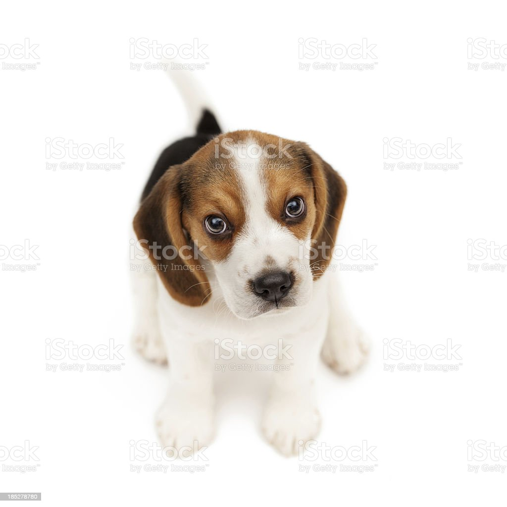 Beagle puppy isolated on white background stock photo