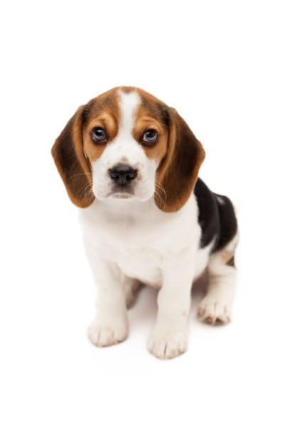 Beagle-Welpe, isoliert auf weißem Hintergrund – Foto