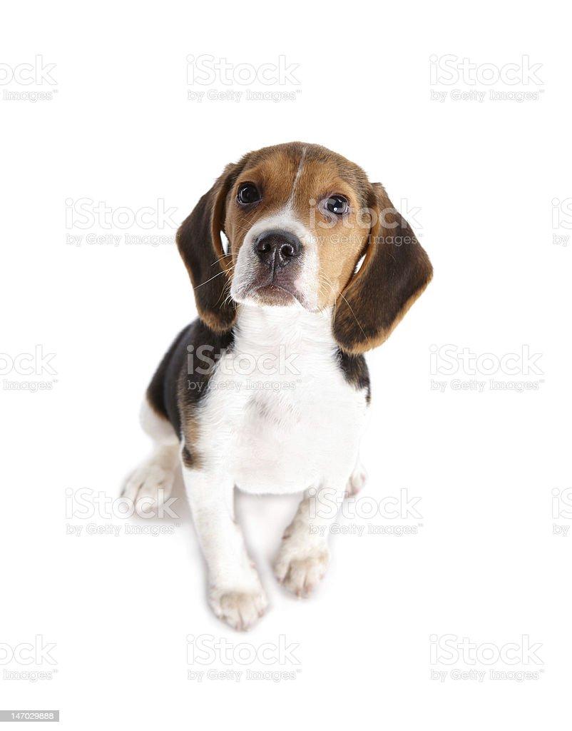 Beagle puppy isolated on white royalty-free stock photo
