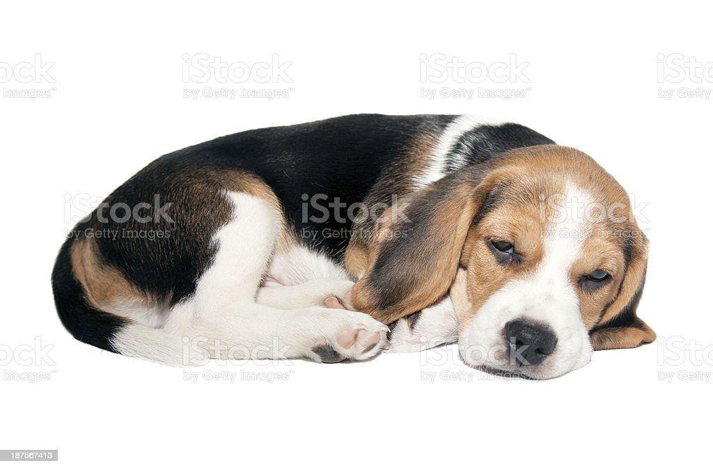 Beagle puppy lying on a white background. stock photo