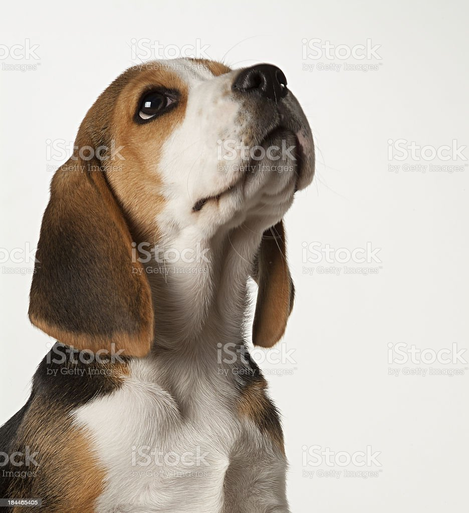 Beagle puppy on white background stock photo