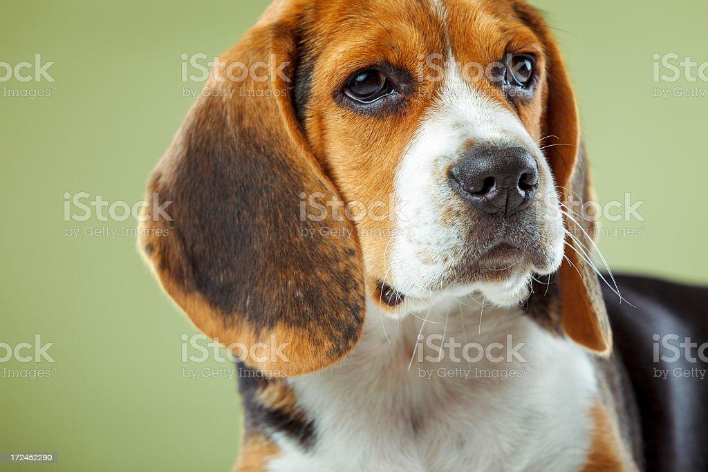 Beagle Puppy royalty-free stock photo