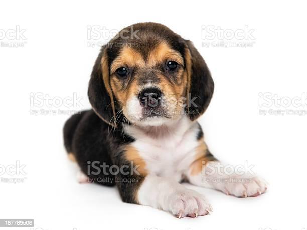 Beagle puppy picture id187789506?b=1&k=6&m=187789506&s=612x612&h=fewoigrdd 8lwgjamhgxdrns1v7ensqqfvsesfekuyk=