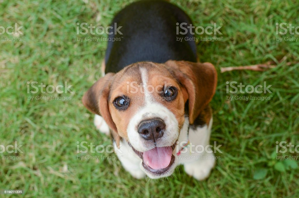 Beagle cachorro - foto de stock